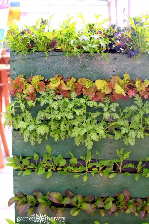 Edible Pallet Planter with lettuces