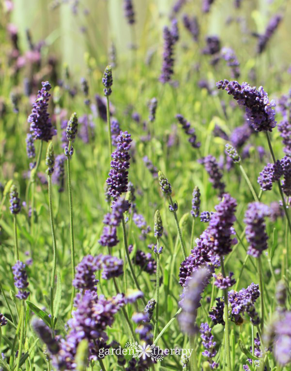 The Essential Guide To Growing Lavender Garden Therapy