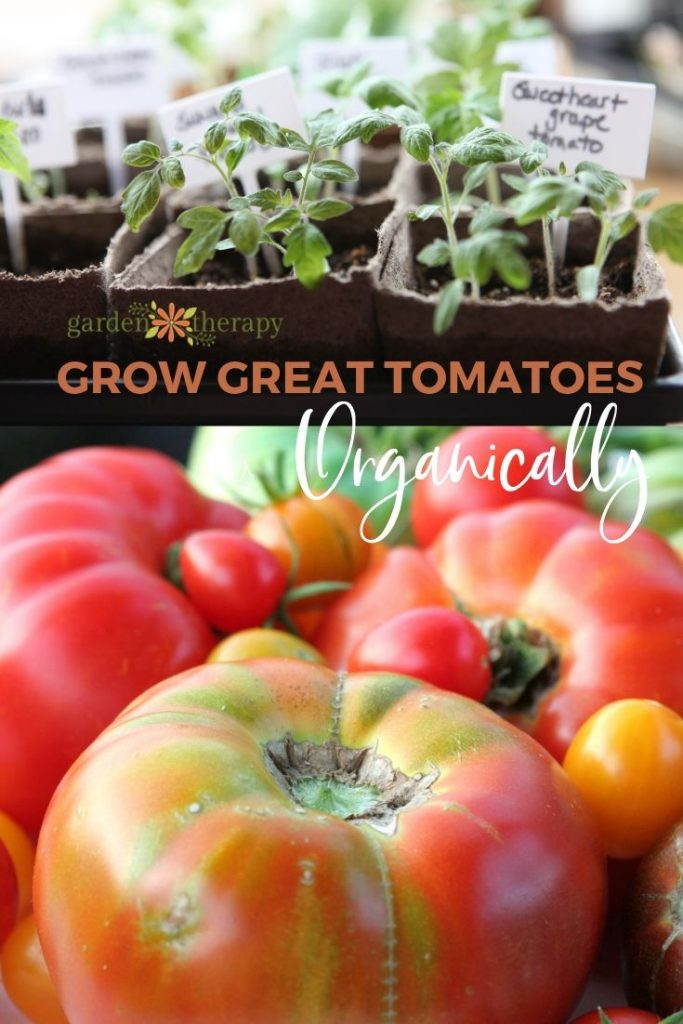 How to Grow Great Tomatoes Organically