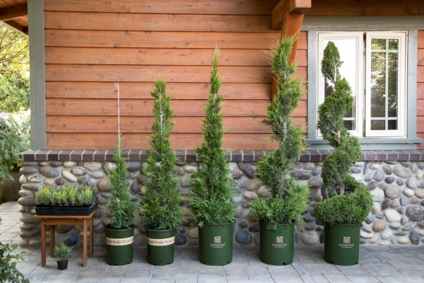 Juniperus chinensis 'Monlep' Mint Julep - topiary process (3)