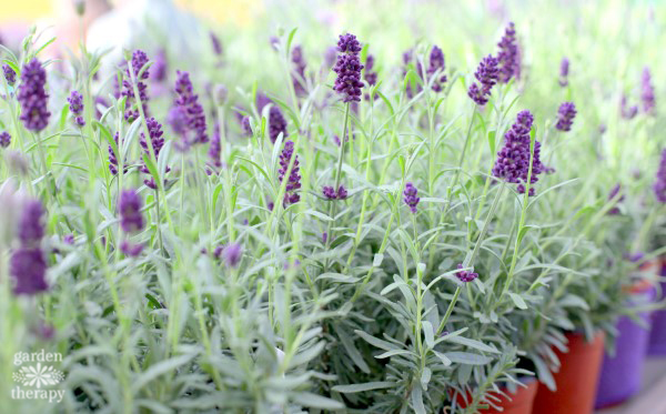 essential guide to lavender