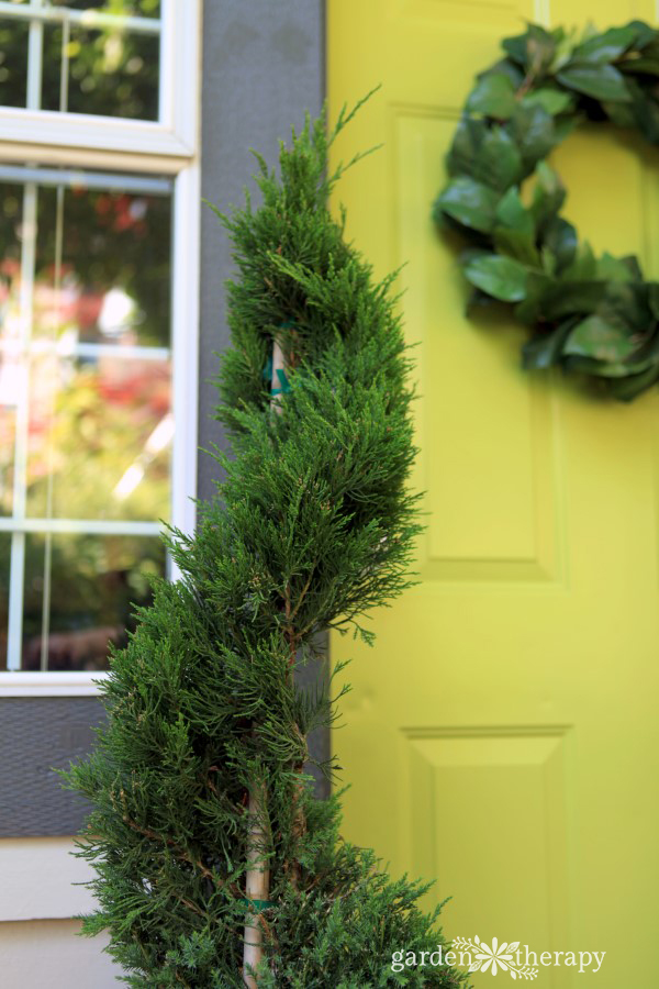 Monrovia Juniper Spiral Topiaries (1)