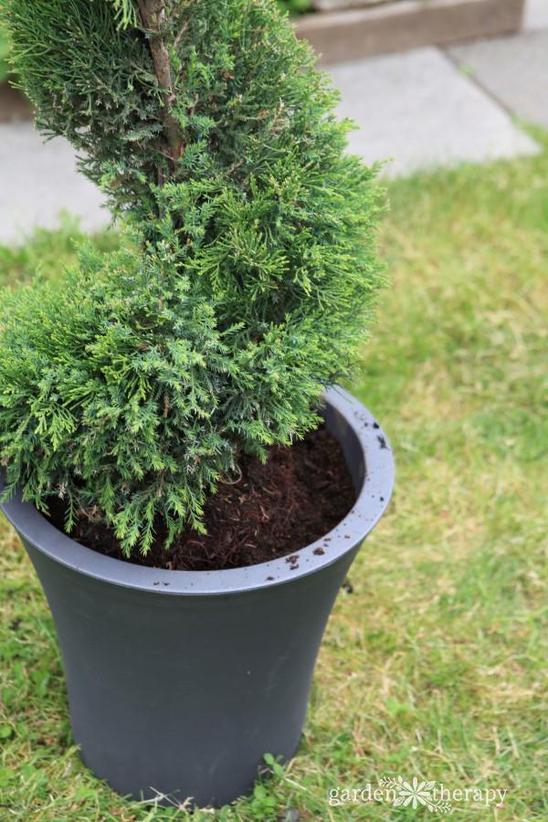 Planting a Juniper Topiary