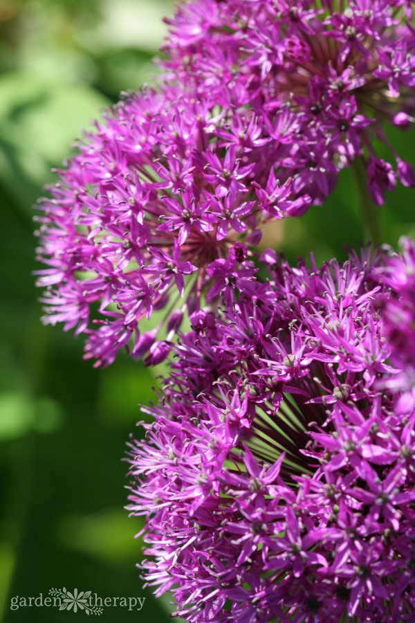 a guide to growing alliums