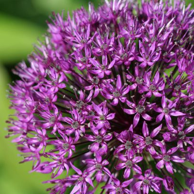 All About Alliums