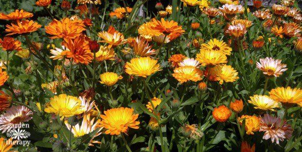 How to Grow and Use Calendula
