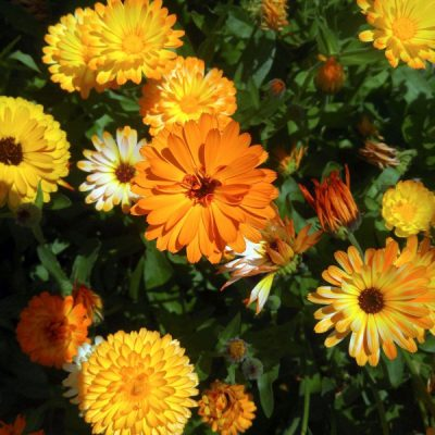 More Than Just a Garden Beauty: How to Dry, Use, and Grow Calendula