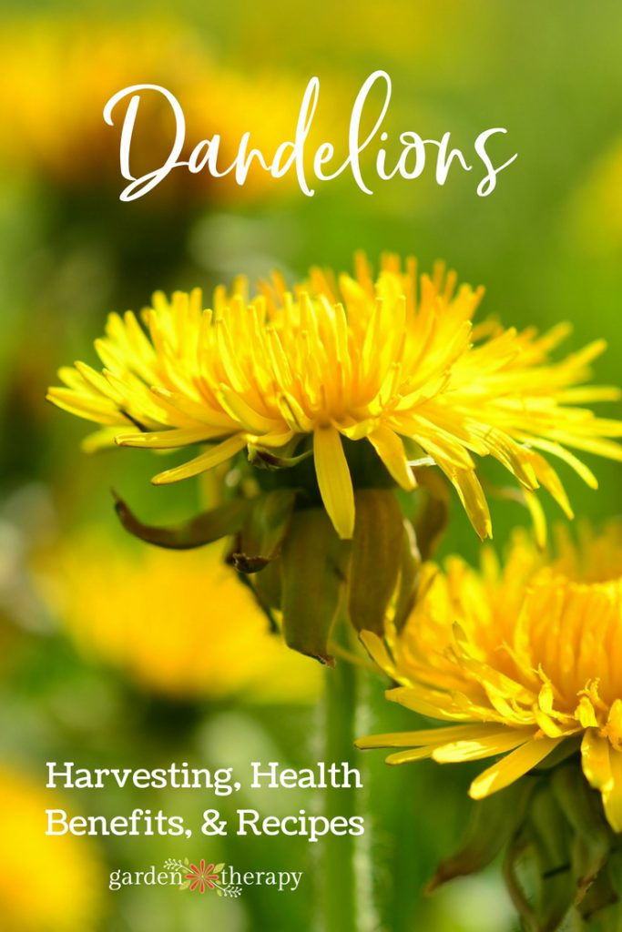 How to harvest and use dandelions