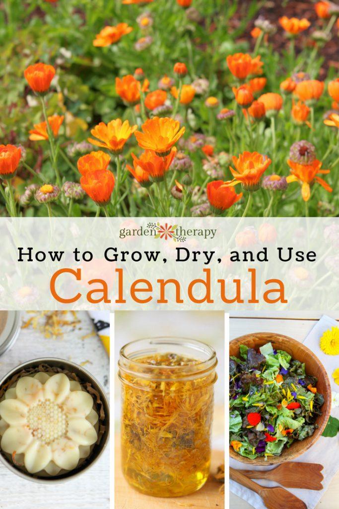 How to grow, dry, and use calendula