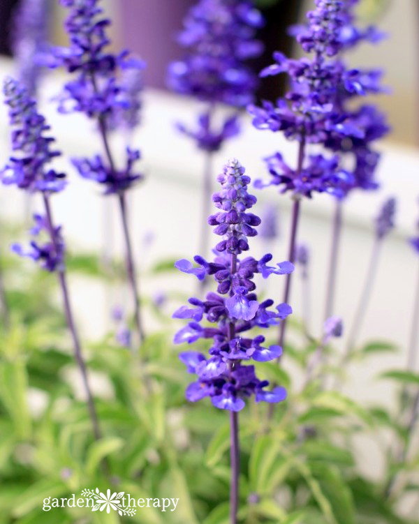 Salvia 'Sally Fun'