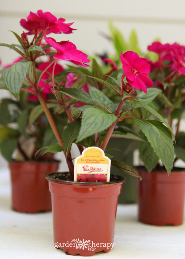 SunPatiens for a straw purse planter