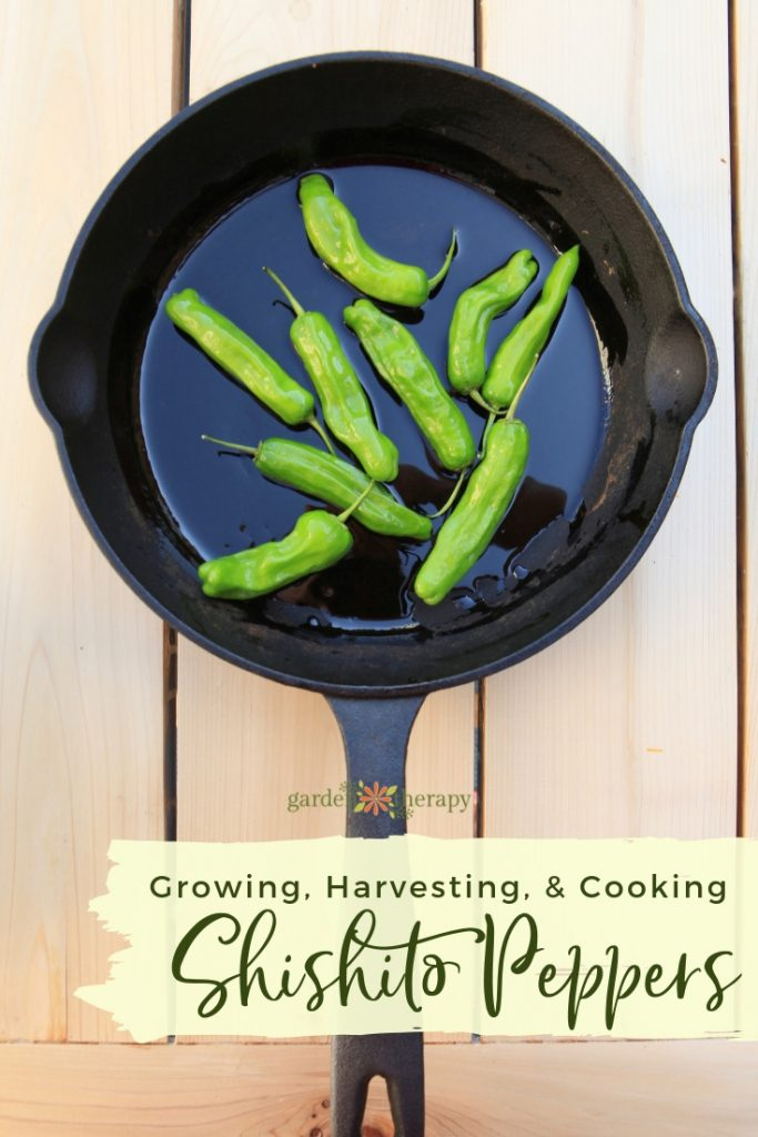 Growing Harvesting and Cooking with Shishito Peppers (1)