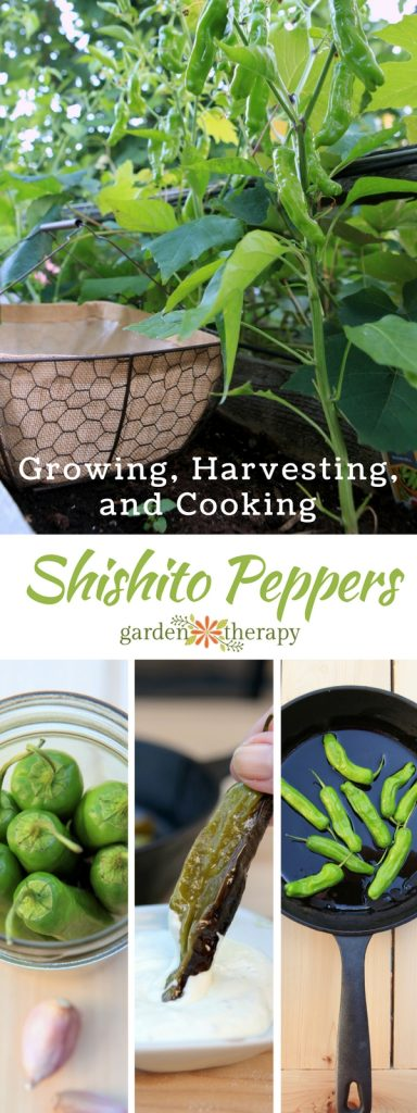 Growing Harvesting and Cooking with Shishito Peppers