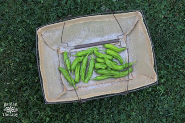 Harvesting Shishito Peppers