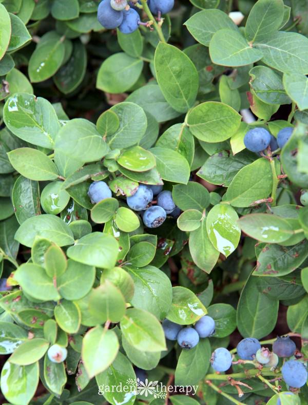 Patio Blueberries ...