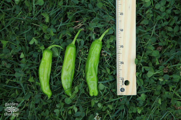 measuring home grown peppers