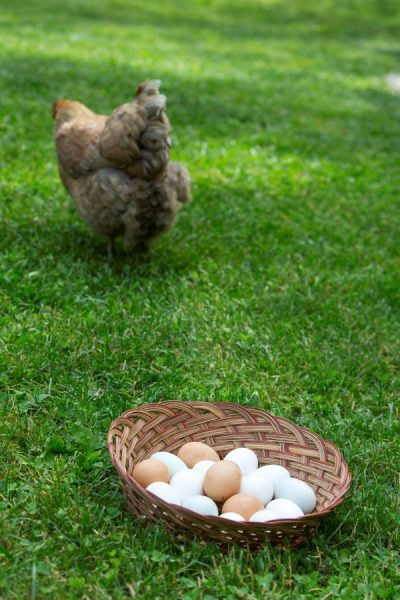 Backyard Chicken Breeds and Egg Color