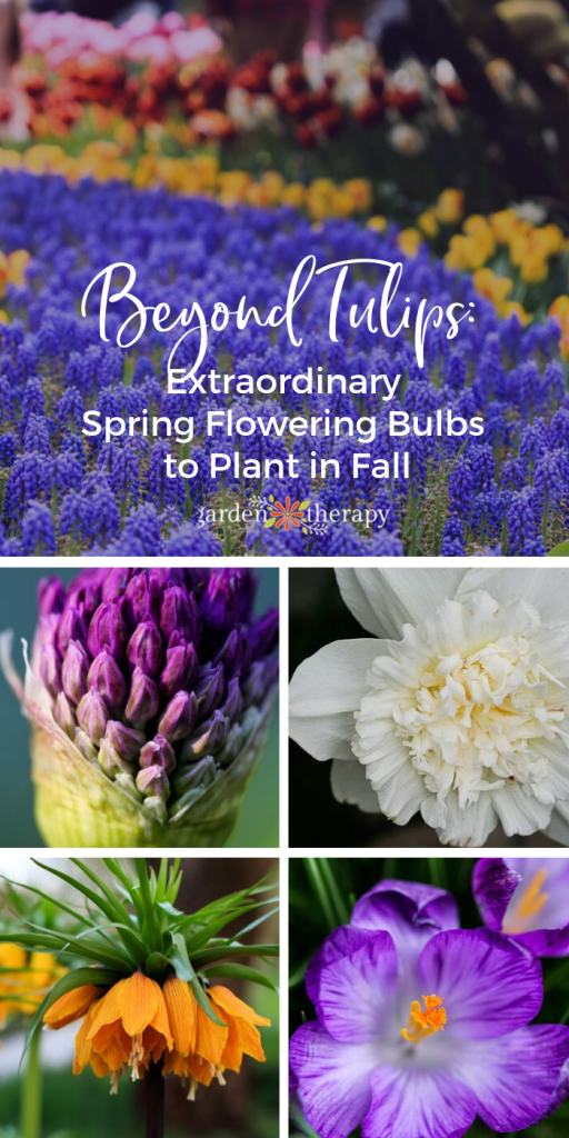 Beyond Tulips_ Extraordinary Fall Bulbs You Need to Grow!