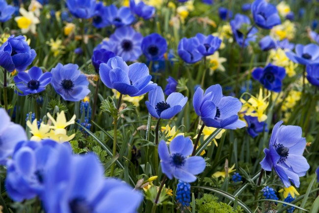 Mix spring flowering bulbs Blue Anemone - yellow-blue