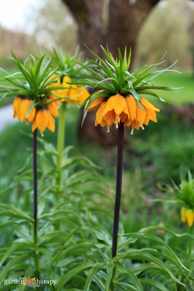 Crown Imperial Frittilaria plants