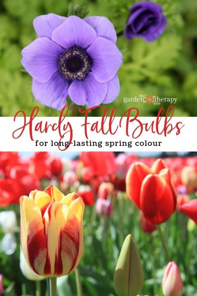 Hardy Fall Bulbs to Plant for Long-Lasting Spring Colour
