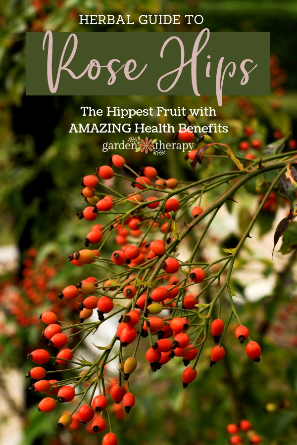 Herbal Guide to Rose Hips Growing and Harvesting