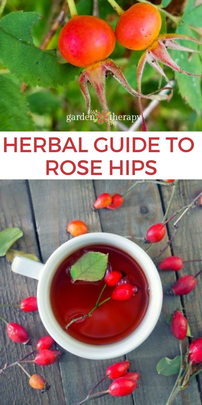 Rose hips blooming in a garden and made into tea