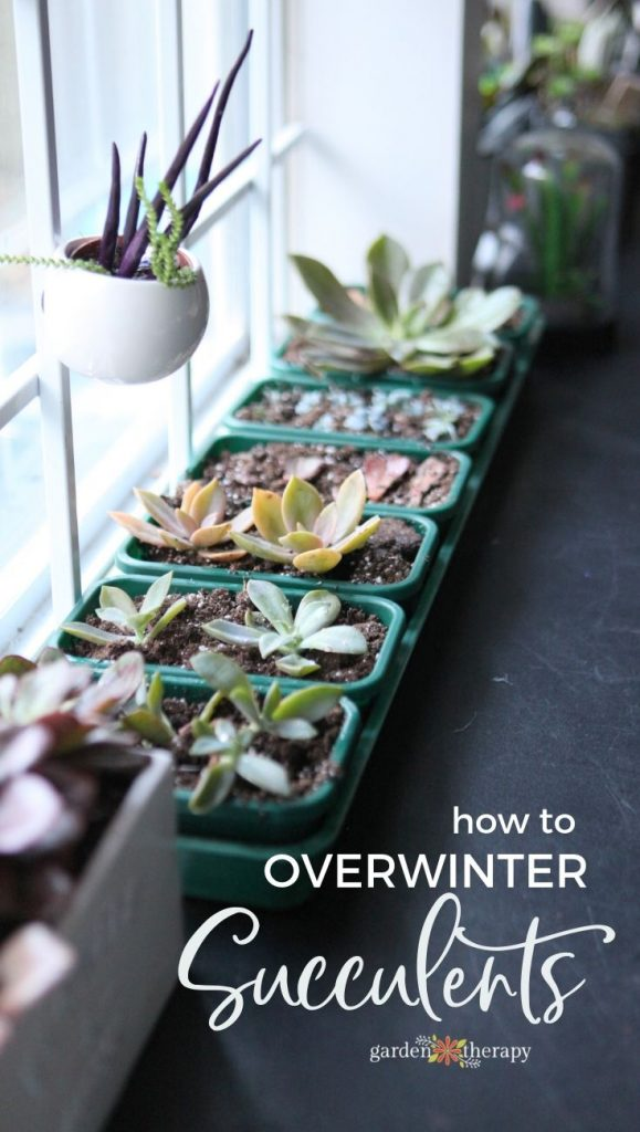 How to Overwinter Tender Succulents