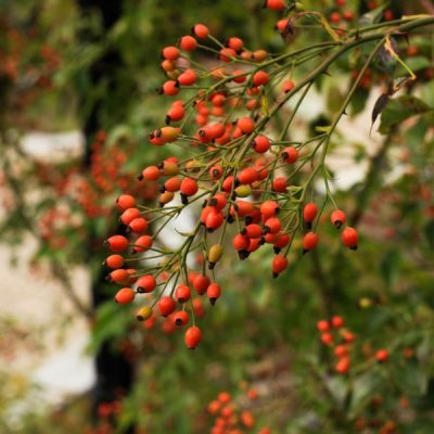 Herbal Guide to Rose Hips: the Hippest Fruit (with Amazing Health Benefits!)