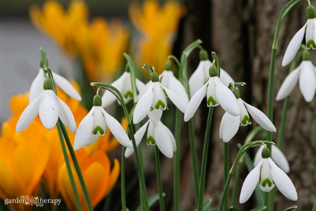 Snowdrops with yellow crocus bacground