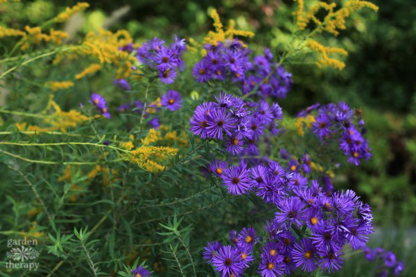 Purple fall asters blooming in a fall garden