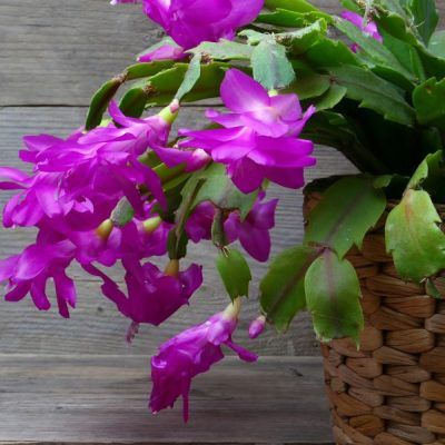 How to Get Your Christmas Cactus to Bloom!