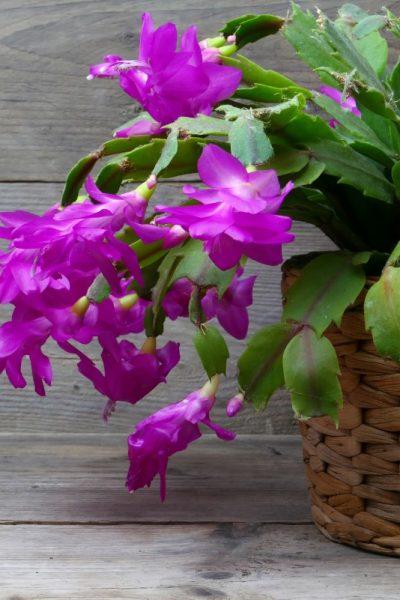 Purple Christmas cactus in bloom