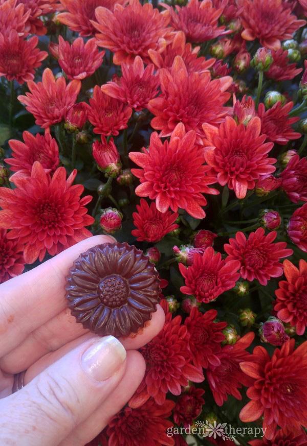 Chrysanthemum chocolate