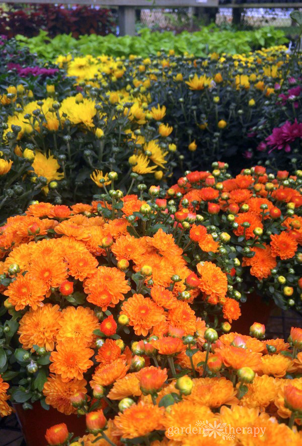 Colorful mums in orange, red, and yellow
