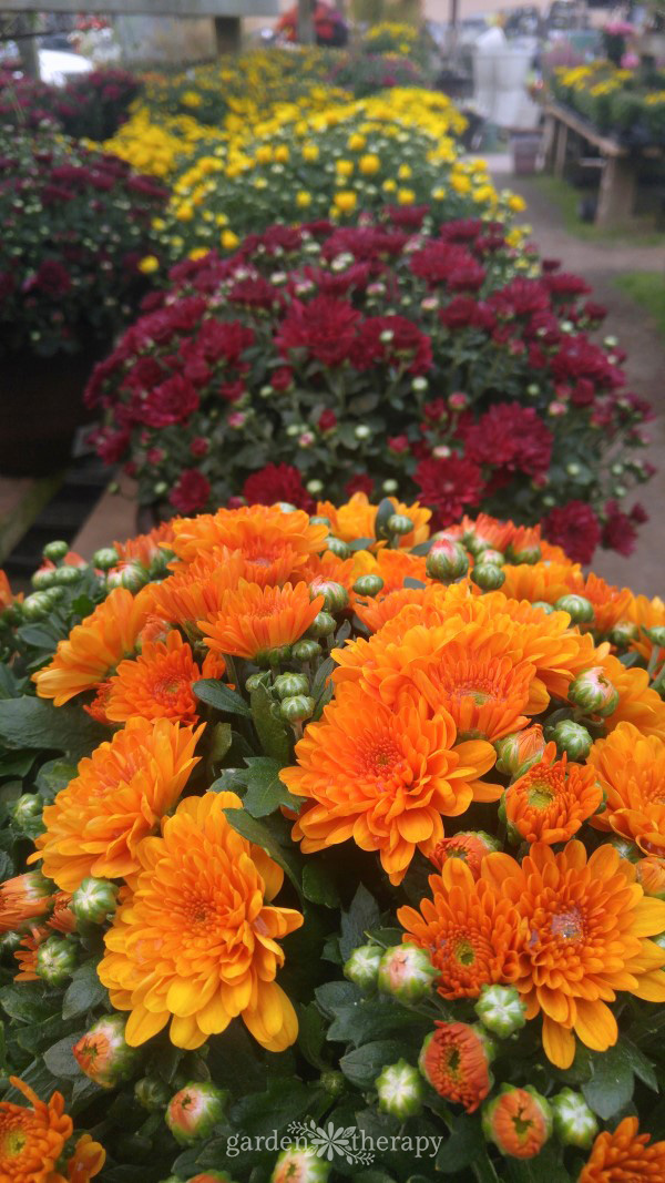Row of hardy mums at a gardening center in orange, red, and yellow