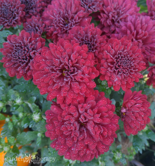 Close up of red mums with dew on them