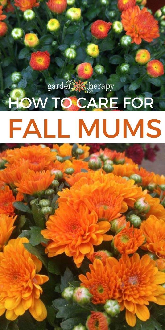 Orange fall mums blooming