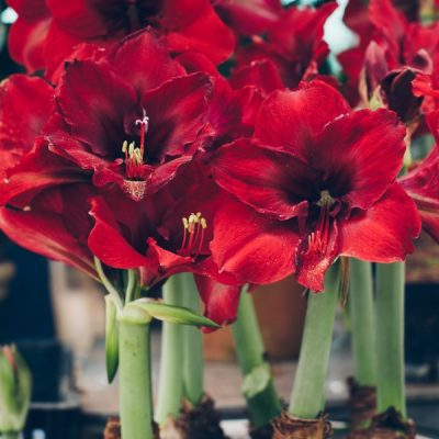 How to Grow an Amaryllis Indoors for Stunning Winter Blooms