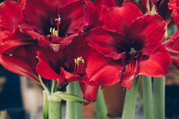 How to grow amaryllis bulbs indoors