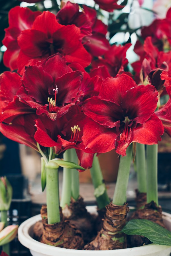 How to grow amaryllis bulbs indoors