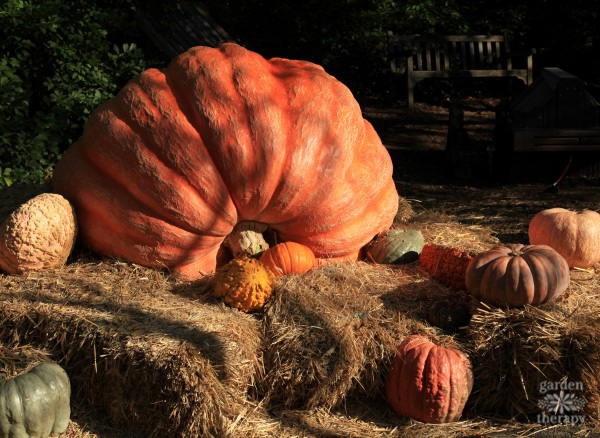 Pumpkins Great And Small