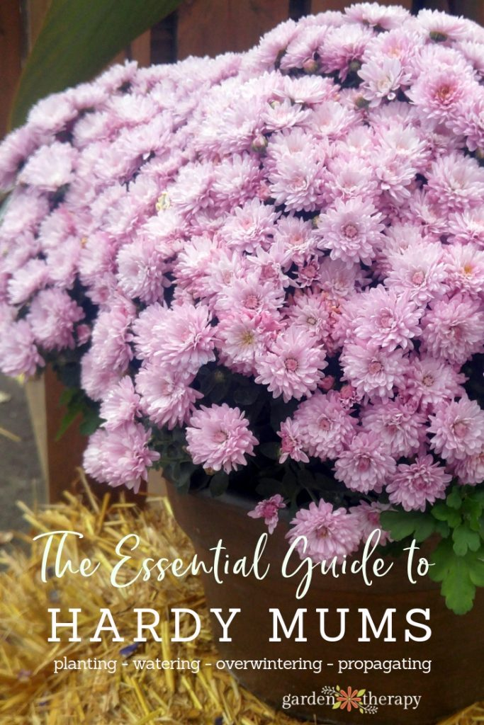 """Purple mums with copy """"the essential guide to caring for hardy mums"""""""