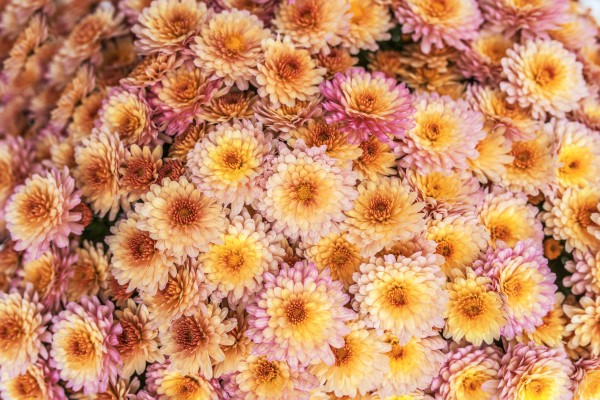 Two Tone Fall Mums