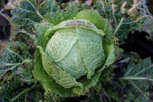Members of the cabbage family taste better after a frost.