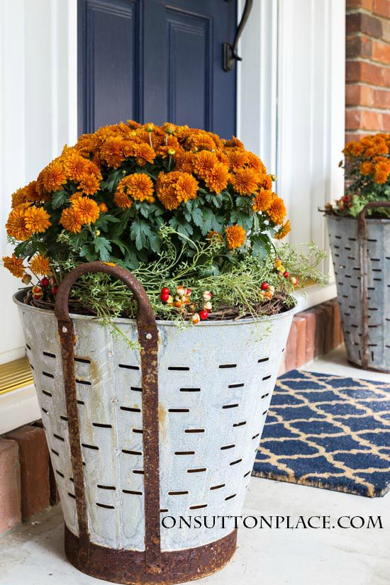 Fall mums planted in olive buckets