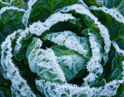 Vegetables That Get Tastier After a Frost