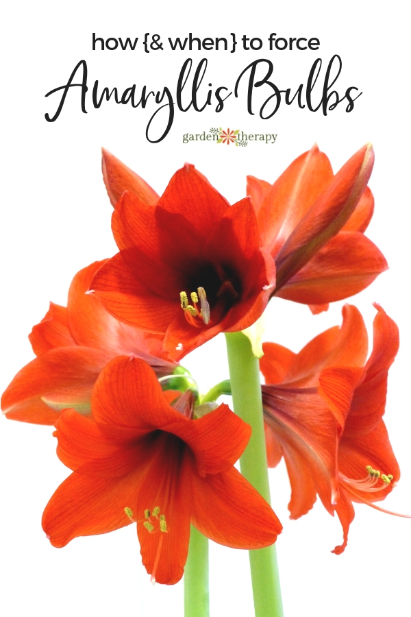Amaryllis Care Guide How to Force and Grow Amaryllis Bulbs