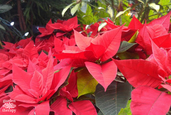 Learn the history of poinsettias, plus how to grow and style them