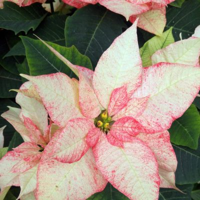 Get to Know Your Poinsettias: History, Growing, and Styling